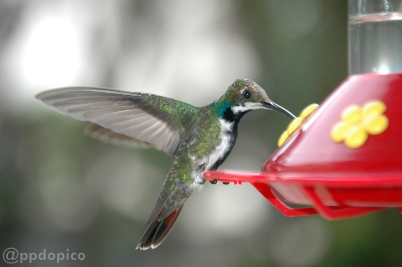 Colibrí macho inmaduro ♂ Mango Pechinegro [Black Throated Mango (Anthracothorax nigricollis)].