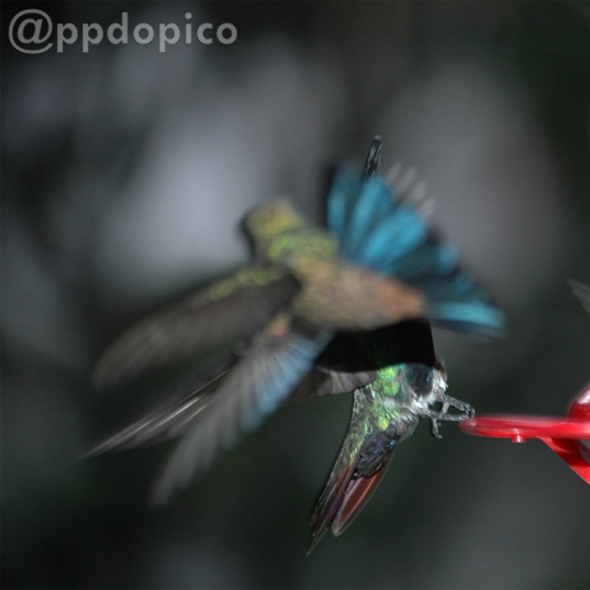 Comiendo Colibrí hembra ♀ ♂ Mango Pechinegro [Black Throated Mango (Anthracothorax nigricollis)] y volando ♀=♂ Amazilia Bronceada Coliazul, [Copper Rumped Hummingbird (Amazilia tobaci)].