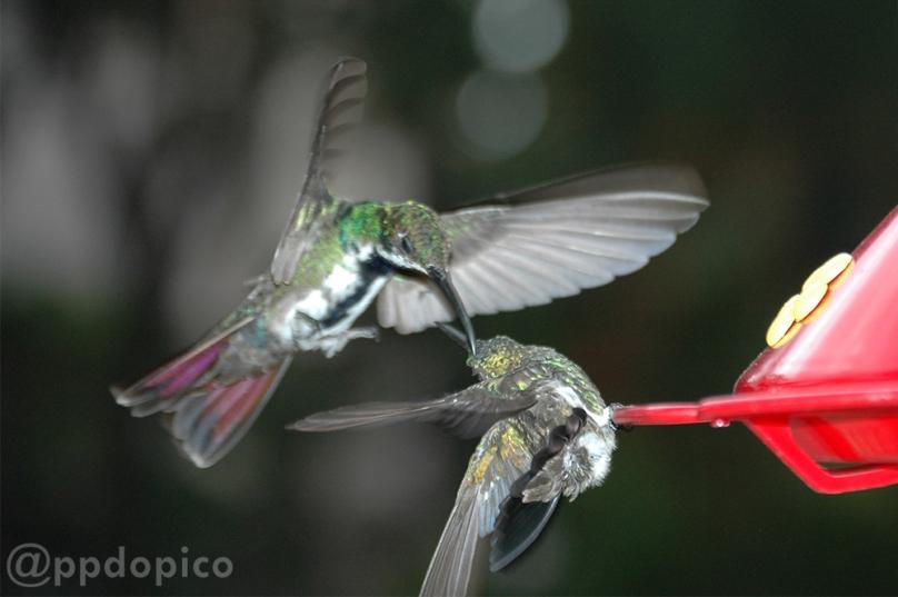 En el comedero ♀=♂ Amazilia Bronceada Coliazul, [Copper Rumped Hummingbird (Amazilia tobaci)] y volando Colibrí hembra ♀ ♂ Mango Pechinegro [Black Throated Mango (Anthracothorax nigricollis)],