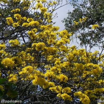 Detalle de la floración de este año . Foto ® José Dopico